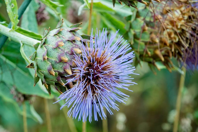 Schließen Sie oben von einer Karde oder von einem Cynara Cardunculus mit blauen Blumen in einem Garten Sehr ähnlich einer Artisch stockfotos