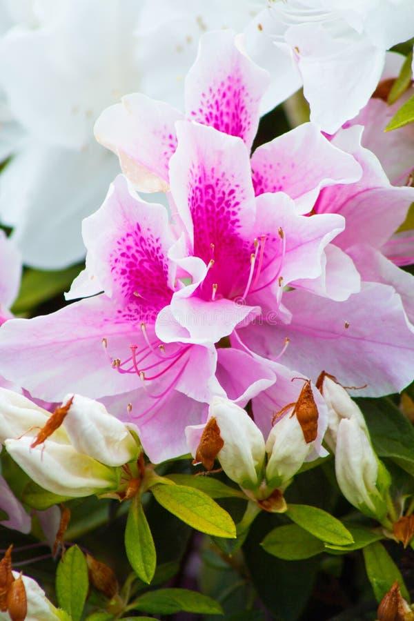 Schließen Sie oben von einer purpurroten und weißen Azaleenblume stockbild