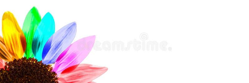 Schließen Sie oben von einer Regenbogen farbigen Sonnenblume auf weißem panoramischem Hintergrund lizenzfreie stockfotos