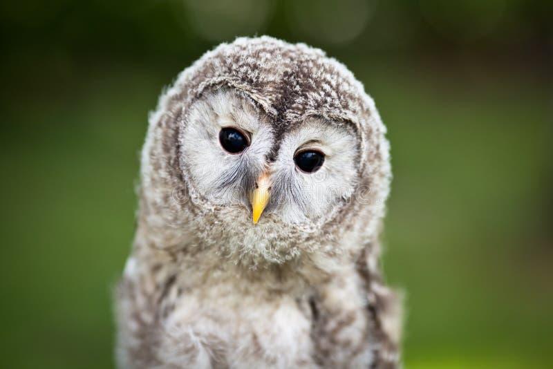 Schließen Sie oben von einer Schätzchen Tawny Eule stockfoto