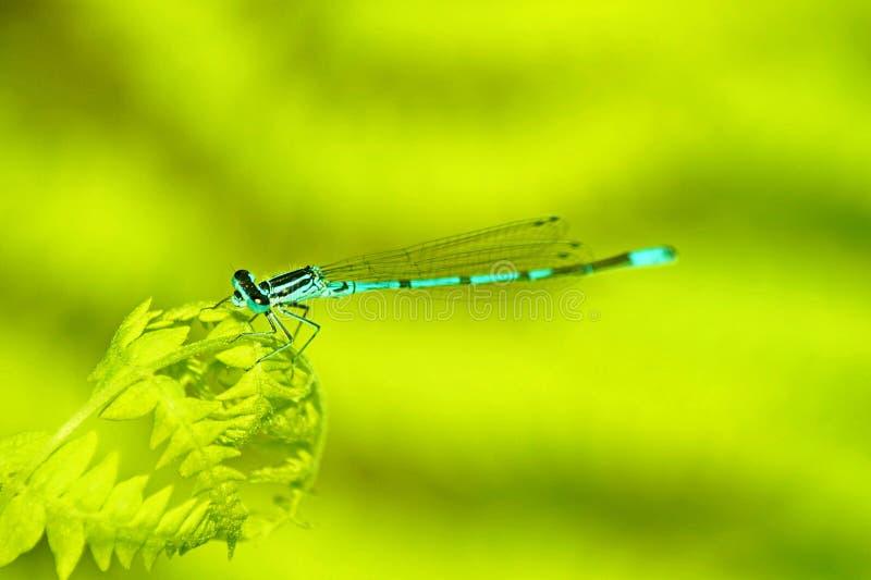 Schließen Sie oben von einer schönen Libelle in der Natur stockfotografie