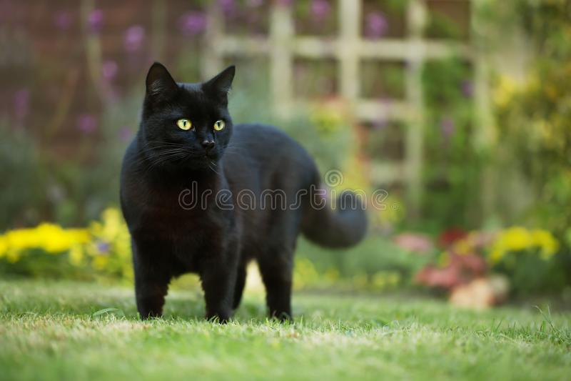 Schließen Sie oben von einer schwarzen Katze auf dem Gras lizenzfreies stockfoto