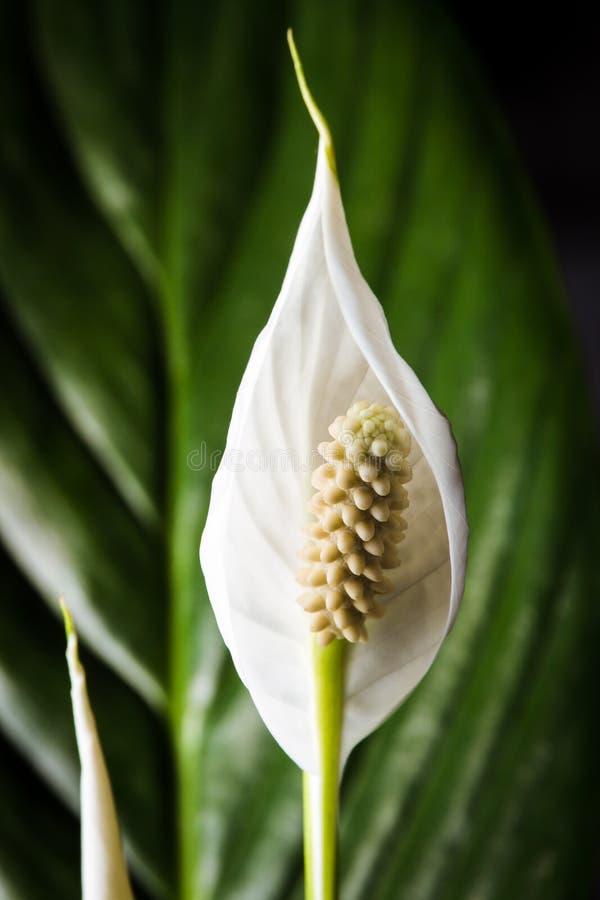 Schließen Sie Oben Von Einer Weißen Blume Einer Zimmerpflanze In Der ...