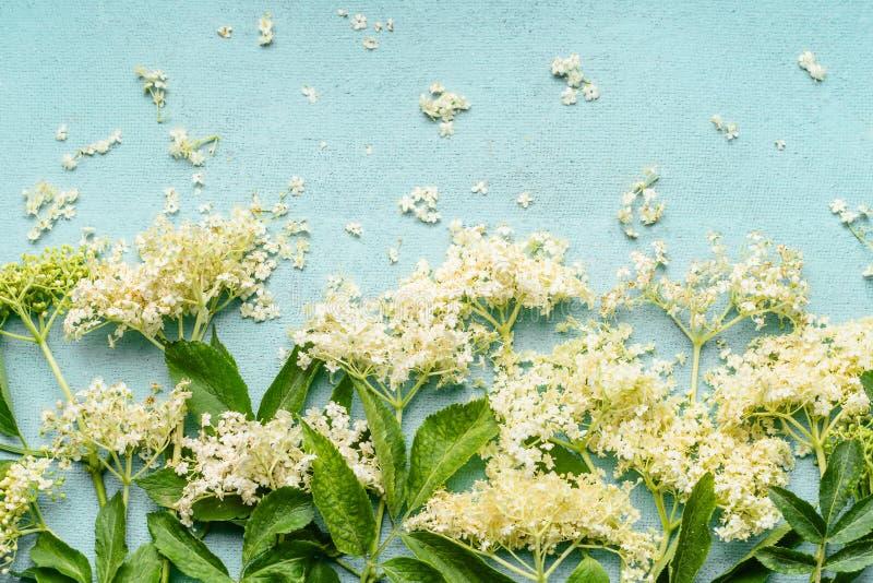 Schließen Sie oben von elderflowers Niederlassungen auf hellblauem Hintergrund, Draufsicht lizenzfreies stockfoto