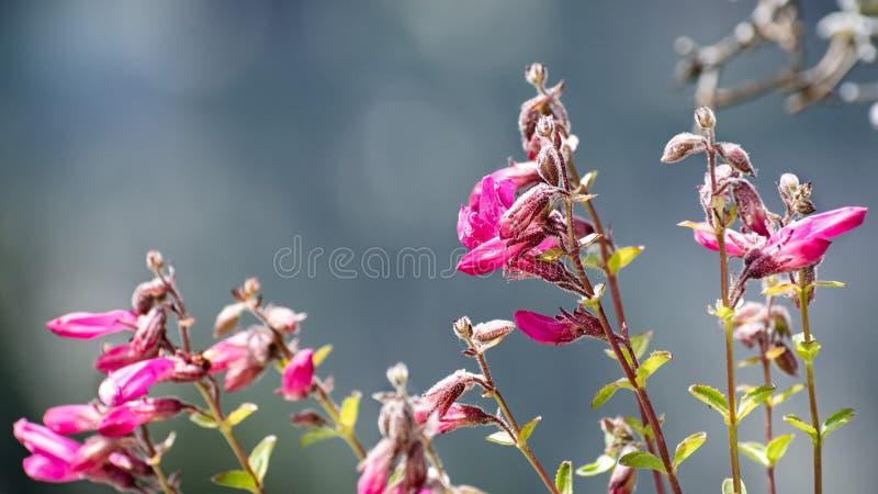 Schließen Sie oben von Gebirgs-Pride Penstemon-newberryi Wildflowers, die in Yosemite Nationalpark, Sierra Nevada -Berge blühen, lizenzfreie stockfotografie