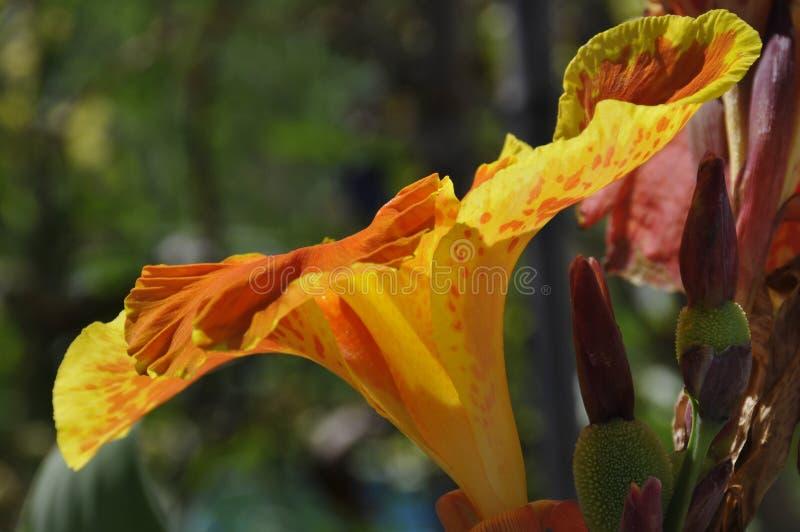 Schließen Sie oben von gelbem und orange gesprenkeltem Canna Generalis Cleopatra Flower lizenzfreie stockfotografie