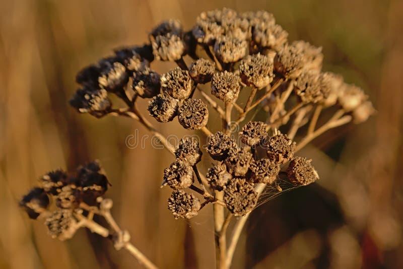Schließen Sie oben von getrockneten braunen Tansyblume seedpods - Tanacetum vulgare stockfotos