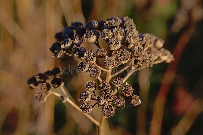 Schließen Sie oben von getrockneten braunen Tansyblume seedpods - Tanacetum vulgare stockbild
