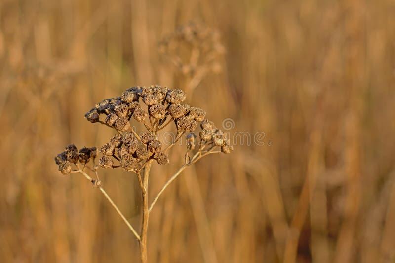Schließen Sie oben von getrockneten braunen Tansyblume seedpods - Tanacetum vulgare lizenzfreie stockfotografie