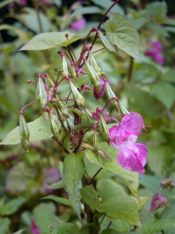 Schließen Sie oben von Himalajabalsam Blumen und seedpods, die im Sumpfgebiet nahe einem Fluss mit Regentropfen wachsen lizenzfreies stockfoto