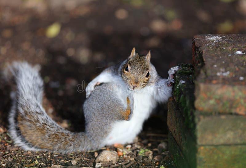 Schließen Sie oben von jungen Grey Squirrel lizenzfreies stockbild
