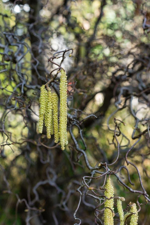 Schließen Sie oben von Korkenzieherhaselnussalias Corylus Avellana contorta lizenzfreie stockfotografie