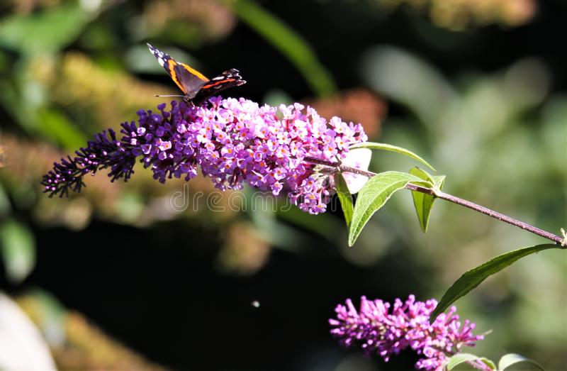 Schließen Sie oben von lokalisiertem Schmetterling Admiral Vanessa Atalanta auf rosa lila Blume Syringa, der mit grünem unscharfe stockbild