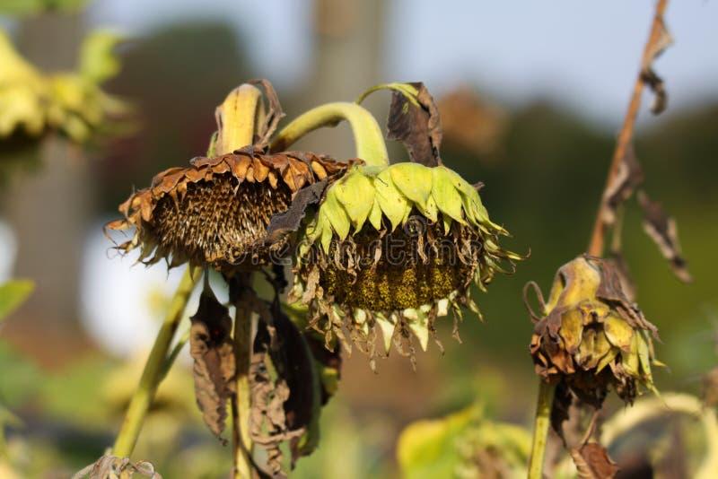 Schließen Sie oben von lokalisierter trauriger brauner verblaßter Sonnenblume Helianthus- Annuusblüte mit hängendem Kopf im Herbs stockbild