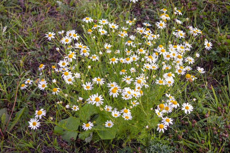 Schließen Sie oben von Matricaria chamomilla Blumen, allgemein bekannt als Kamille, wilde Kamille oder duftender Mayweed eine Fam lizenzfreies stockfoto