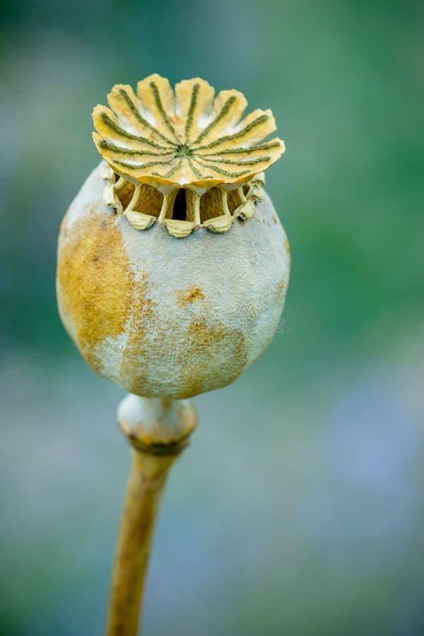 Schließen Sie oben von Poppy Head oder von Poppy Seed Capsule mit einem unscharfen Hintergrund im Garten lizenzfreies stockfoto