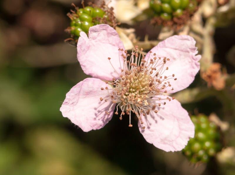 Schließen Sie oben von rosa Brombeerstrauchköpfchen Rubus fruticosus stockbilder