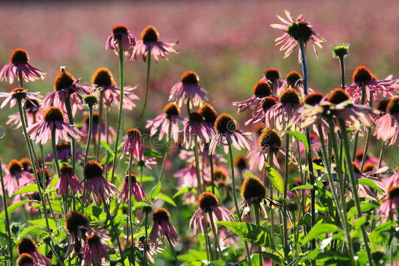 Schließen Sie oben von rosa Echinacea purpurea Blüten, bevor Sie in der hellen Herbstsonne und in unscharfem grünem Hintergrund - lizenzfreie stockfotografie