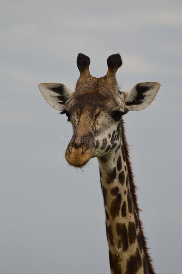 Schließen Sie oben von Rothschild-` s Giraffe, die Kamera gegenüberstellt lizenzfreie stockfotos