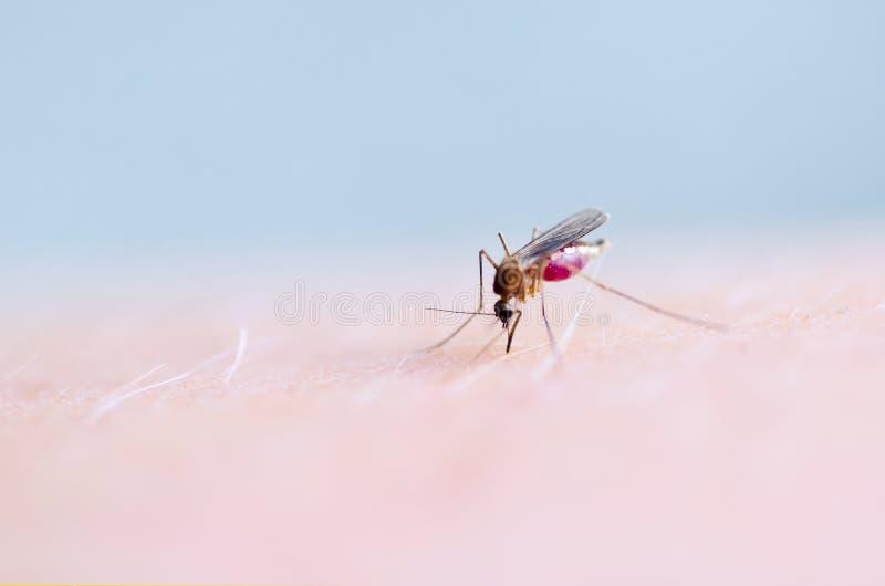 Schließen Sie oben von saugendem Blut des Moskitos auf menschlicher Haut, Moskito ist Träger von Malaria gehirnentzündung Dengue- lizenzfreies stockbild