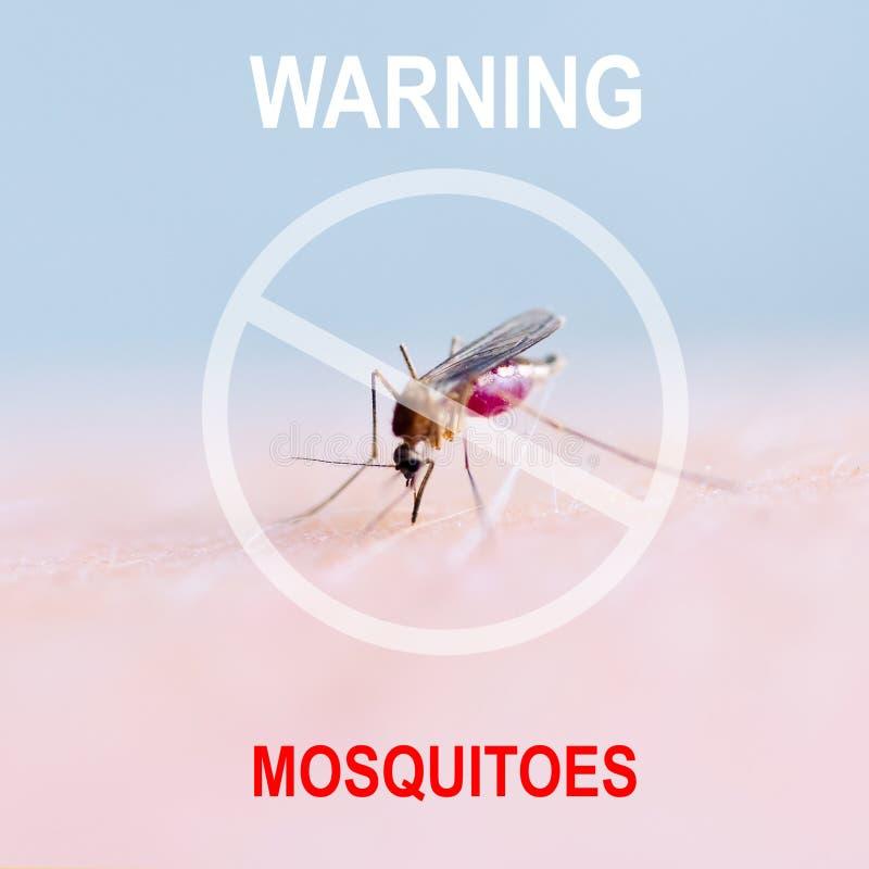 Schließen Sie oben von saugendem Blut des Moskitos auf menschlicher Haut, Moskito ist Träger von Malaria gehirnentzündung Dengue- lizenzfreie stockbilder