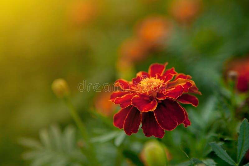 Schließen Sie oben von schöner Ringelblumenblume Tagetes-erecta, mexikanischer, aztekischer oder afrikanischer Ringelblume im Gar lizenzfreies stockfoto