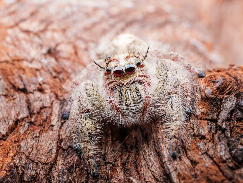 Schließen Sie oben von springender Spinne, Spinne in Thailand mit Makroskala lizenzfreies stockfoto
