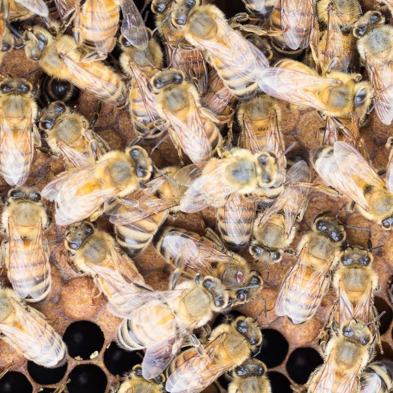Schließen Sie oben von Varroa-Milbe auf Honigbiene stockfotos