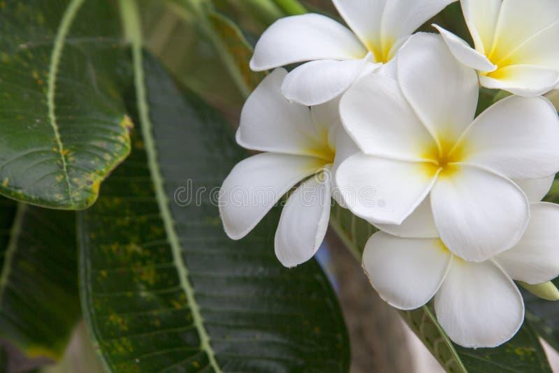 Schließen Sie oben von weißer Plumaria-Blume oder Wüstenroseblume und grüne Blätter auf dem natürlichen Baum stockbilder