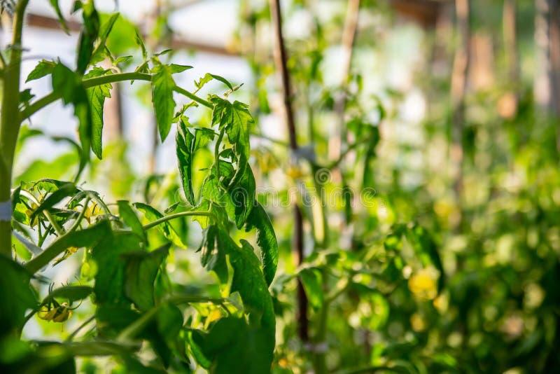 Schließen Sie oben von wenigen jungen grünen Tomaten, die auf grünen Niederlassungen mit unscharfem organischem Gewächshaushinter lizenzfreie stockbilder
