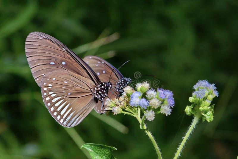 Schließen Sie oben von zwei Schmetterlingen, die auf Blumen einziehen stockfotos