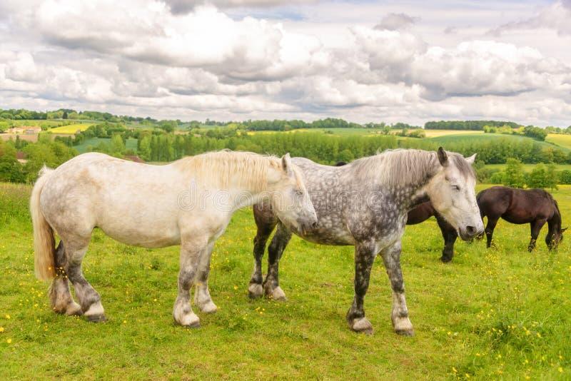 Schließen Sie oben von zwei weiß und von gescheckten französischen percherons Pferden, Perche-Provinz Frankreich lizenzfreie stockfotografie