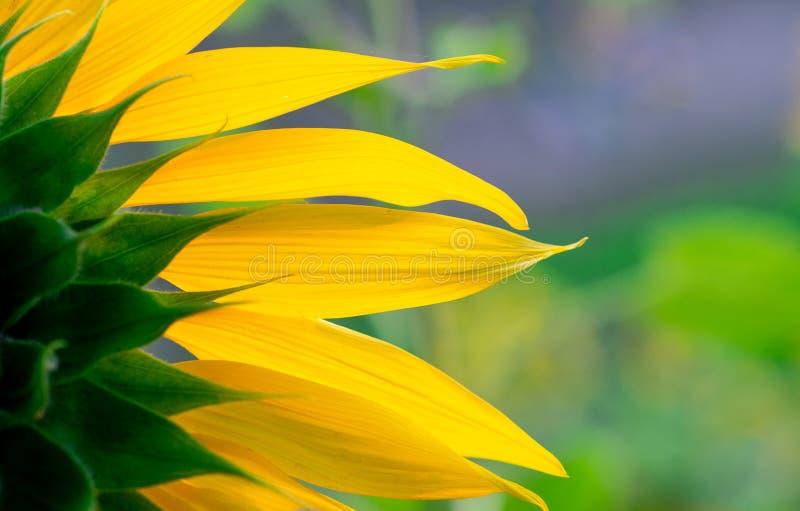Schließen Sie oben zurück von den vibrierenden Hintergrundbeschaffenheiten der hinteren Ansicht der Sonnenblume stockfotos