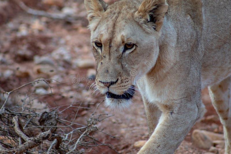 Schließen Sie sehr oben vom schönen Kopf des afrikanischen weiblichen Löwes im Safari-Park lizenzfreies stockfoto
