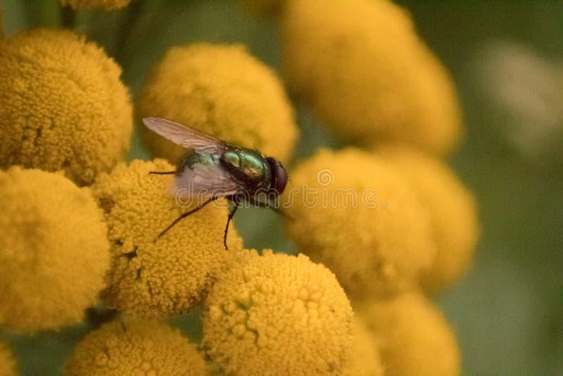 Schließung einer Fliege mit gelben Blüten stockfoto