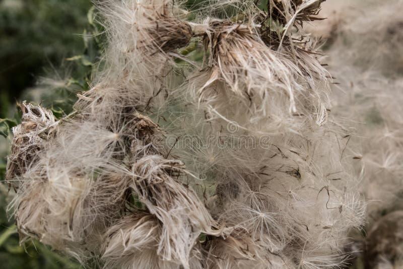 Schließung von grauen, klebrigen Samen aus Blüten mit grünem Hintergrund stockbilder
