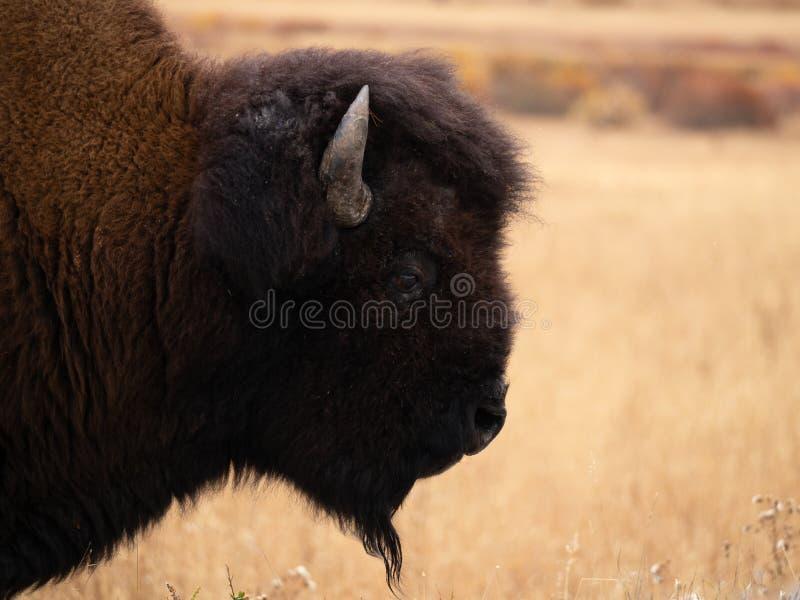Schließen Sie oben vom Kopf und vom Hals eines amerikanischen Bisons im Profil lizenzfreies stockfoto