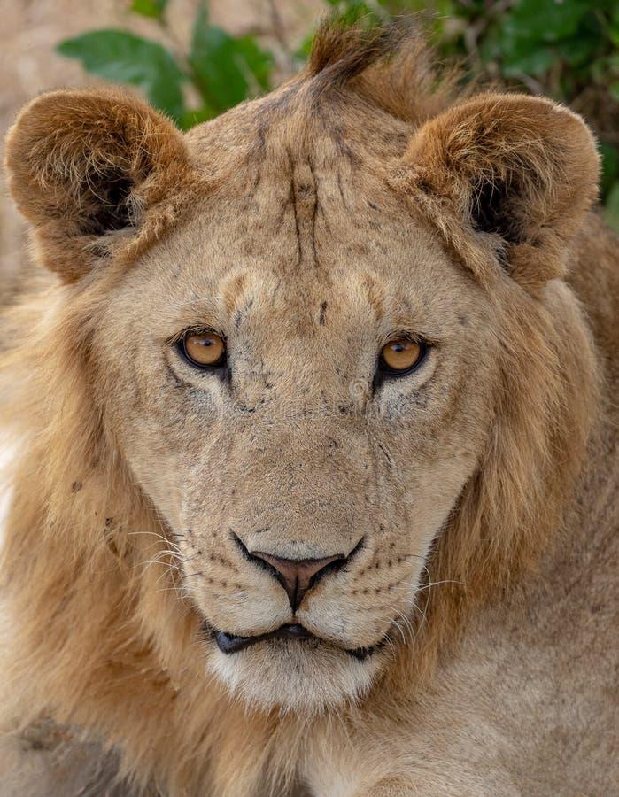 Schließen Sie oben vom Löwe auf Masai Mara, Kenia Afrika lizenzfreies stockbild