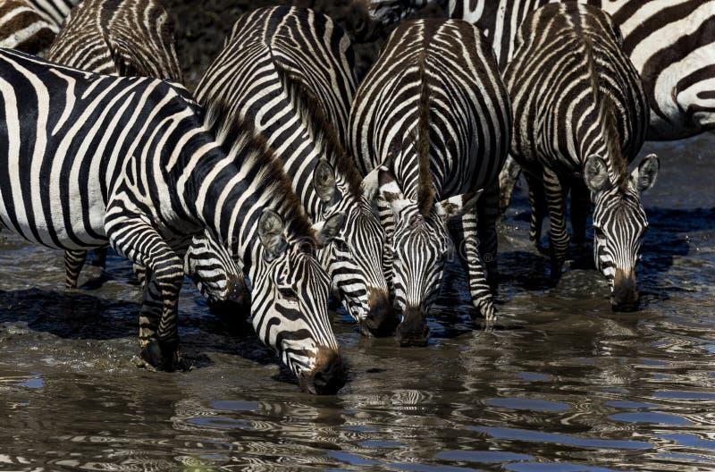 Schließen Sie oben vom Trinkwasser mit 4 Zebras in einer Wasserstelle stockfoto