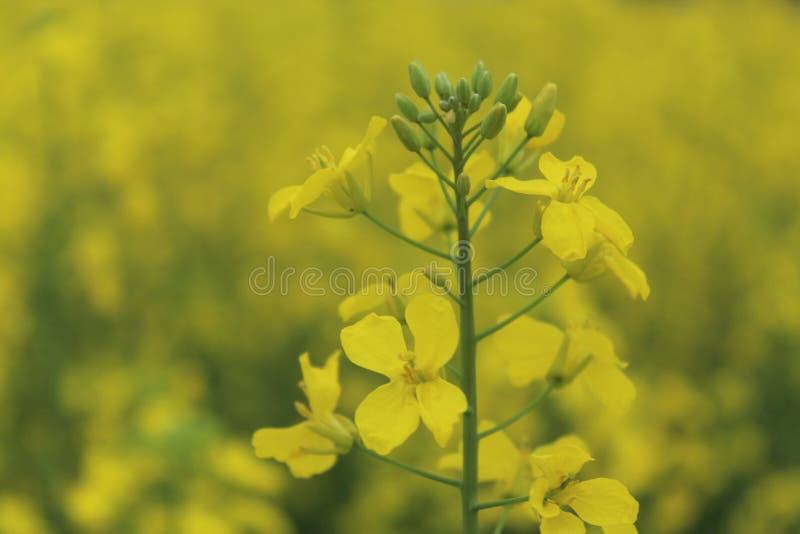 Schließen Sie oben von den gelben Senfblättern in den Bauernhöfen lizenzfreies stockbild