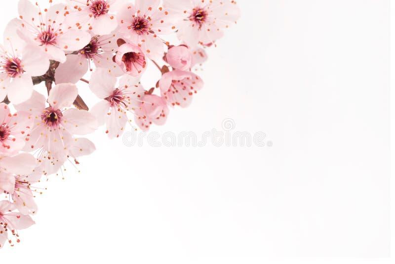 Schließen Sie oben von der japanischen Kirschblüte mit weißem Hintergrund- und Kopienraum lizenzfreie stockfotografie