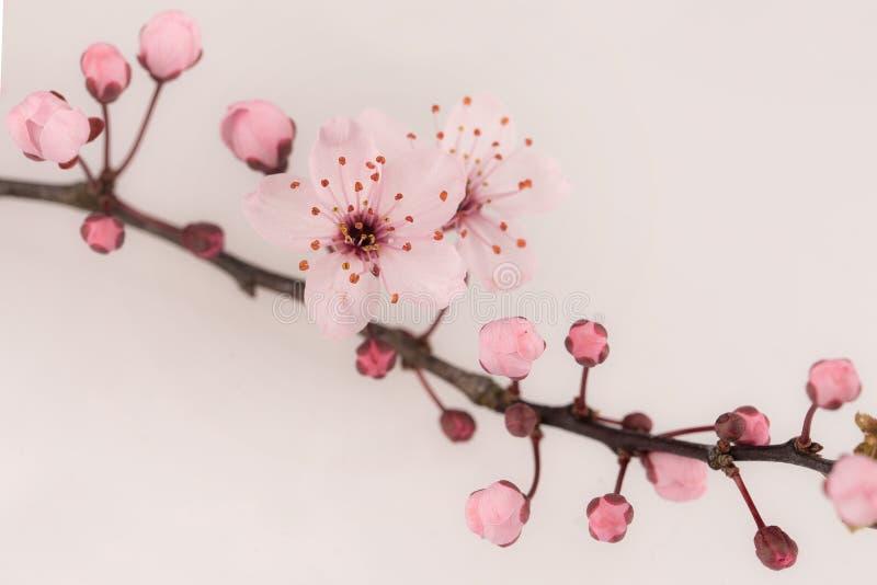 Schließen Sie oben von der japanischen Kirschblüte und von vielen Knospen lizenzfreies stockbild