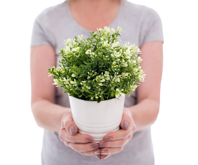 Schließen Sie oben von der Topfpflanze in den weiblichen Händen auf weißem Hintergrund lizenzfreies stockbild
