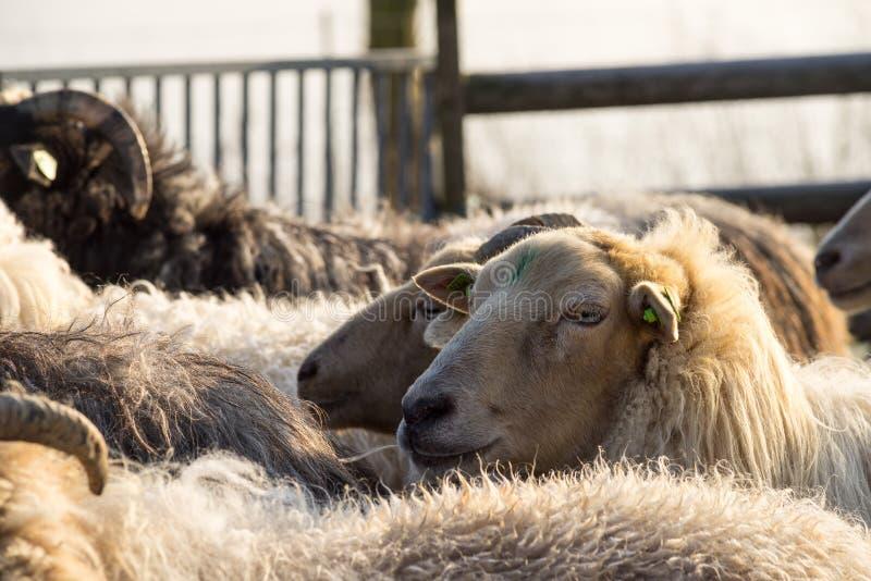 Schließen Sie oben von einem Schaf, das seinen Kopf über der Herde in einer Winterlandschaft haftet stockbilder