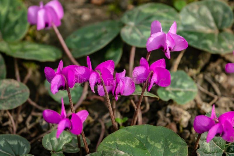 Schließen Sie oben von schönem hellem rosa Ð-¡ yclamen coum caucasicum mit netten kopierten Blättern gegen Hintergrund von Erde i lizenzfreie stockfotos