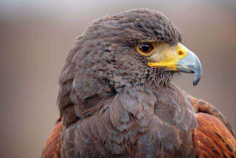 Schlie?en Sie herauf Seitenansicht des Kopfes eines hybriden Falken, der Auge und Schnabel im Profil zeigt - schauend rechts lizenzfreie stockbilder