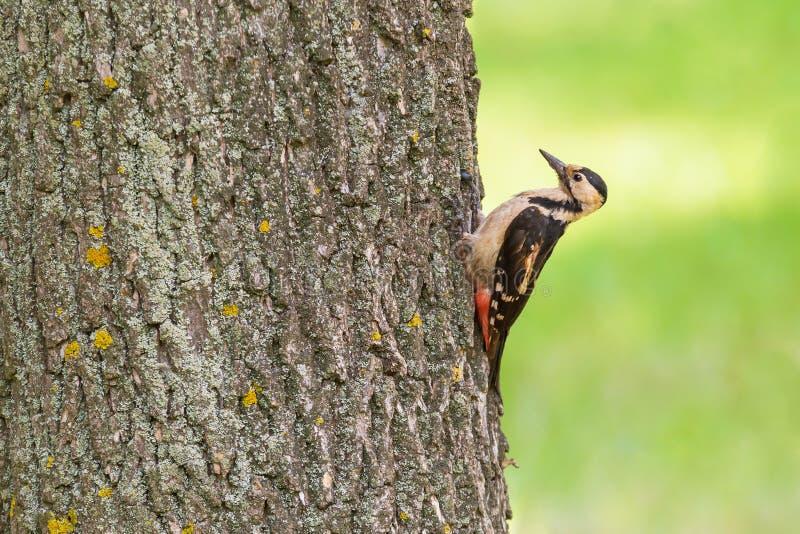 Schlie?en Sie oben vom Specht, der auf Baum sitzt lizenzfreies stockbild