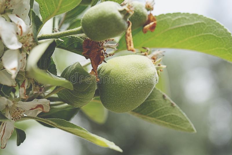 Schlie?en Sie oben von den organischen gr?nen ?pfeln mit den Tautropfen, die am Apfelbaumast des Gartens h?ngen lizenzfreie stockfotografie