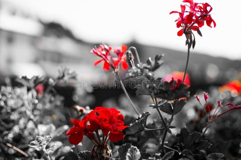 Schlie?en Sie oben von den roten Blumen mit desatured Hintergrund in Schwarzweiss traurigkeit Makroblumenbild lizenzfreie stockfotografie