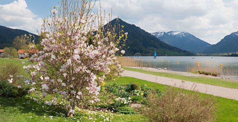 Schliersee del jardín del balneario con el arbusto floreciente de la magnolia, velero en el lago fotografía de archivo